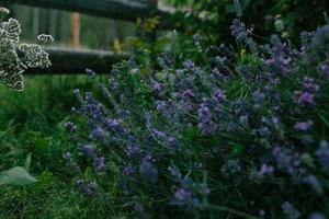 lila lavendelblommor