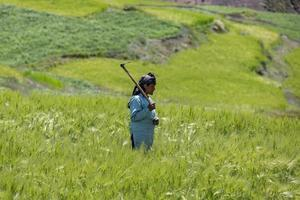 komic village, indien, 2019 - kvinna skördar grödor i ett fält