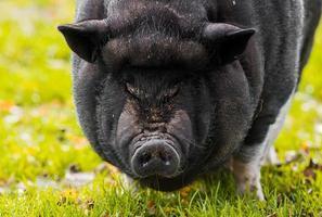 närbild av en gris