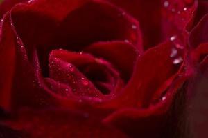 vackra röda rosor närbild
