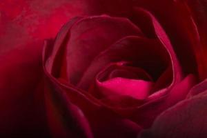 vackra röda rosor närbild foto