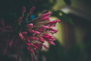 regndroppar på rosa blommor