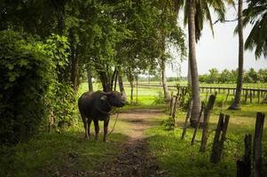 thailändsk buffel