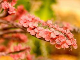 kaktusökenväxt i ljusrosa foto