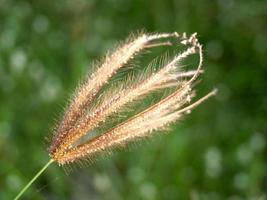 en torkad vild blomma foto