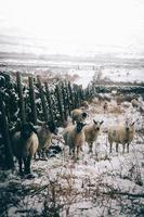 derbyshire, england, 2020 - får och baggar i ett snöigt fält