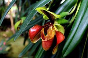dam tofflor orkidé foto