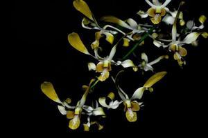 gula orkidéblommor