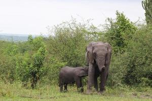 mor och baby elefant i ett fält foto
