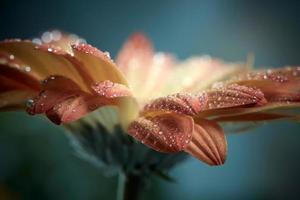 orange daisy gerberablomma med vattendroppar. instagram stil ton