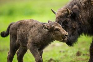 europeisk bison (bison bonasus) foto