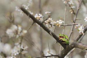 le europeisk trädgroda, hyla arborea foto