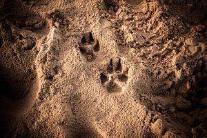 hundens fotavtryck i sanden foto