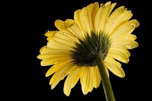 gul våt gerbera daisy svart bakgrund bakom foto