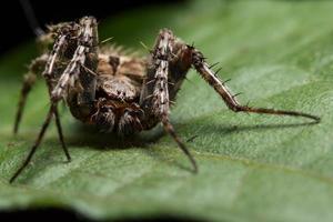 spindel på ett blad, närbild foto