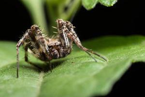makro spindel på ett grönt blad foto
