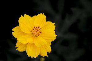 närbild av den härliga gula kosmosblomman foto