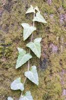 hängande växt på trädstammen med mossa