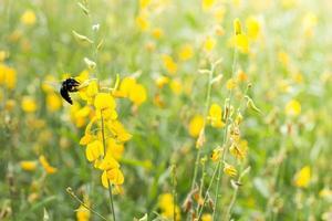 humla på en gul blomma foto
