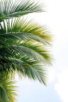 kokosnötsblad mot blå himmel