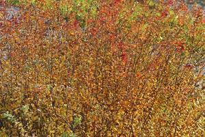 buske med många grenar och färgglada höstlöv