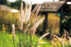 gräs som blåser i vinden