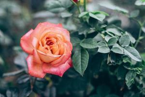 selektiv mjuk fokus av rosa rosor i trädgården foto