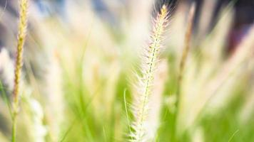 mjukt fokus vilda gräs blommor