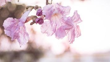 mjukt fokus av rosa blommande blommor foto