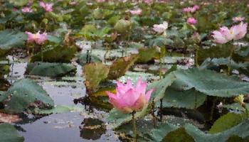 liljedamm med rosa lotusblommor foto