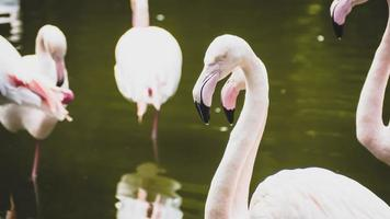 en grupp flamingor i en damm foto