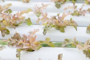 närbild av röda ekväxter foto