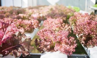 röda korallväxter i en hydroponic gård foto