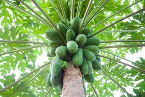 papaya träd utanför foto