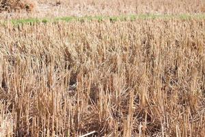 skördad ris i ett risfält foto