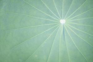 närbild av ett lotusblad
