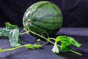 färsk vattenmelon på vinstocken