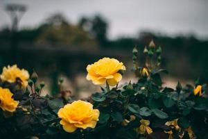 gula kronbladiga blommor