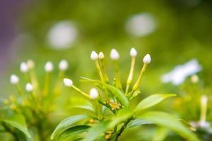 vita blommor med gröna blad