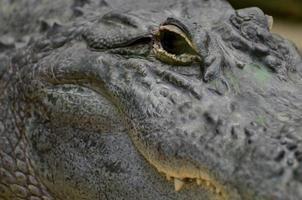 närbild av alligatorens öga foto