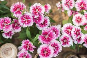 närbild pf rosa och vita blommor foto
