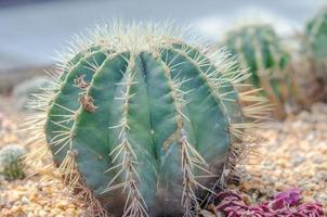 närbild av en kaktus