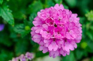närbild av en rosa hortensiablomma foto
