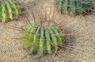 närbild av en kaktusväxt på marken
