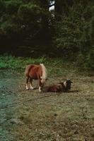ponny och en get som vilar på gräset foto