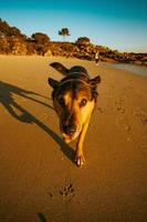 söt tysk shepard gå på stranden foto