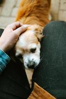 söt och liten brun hund som gosas foto