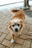 liten och lurvig hund springer mot kameran foto