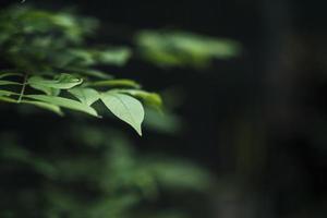 närbild av gröna blad på suddig bladbakgrund