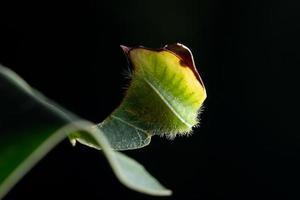 larv på ett blad foto